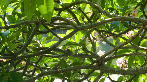 glare from water on branches of flowering plumeria Footage