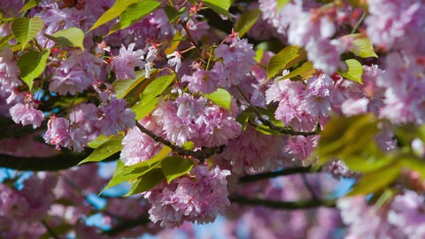 Pink cherry tree in park Footage
