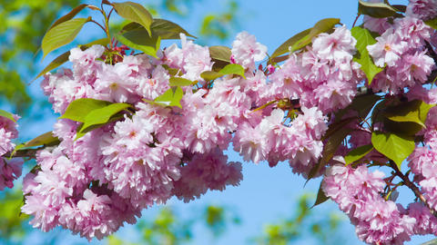 Beautiful cherry tree pink blossoms Footage