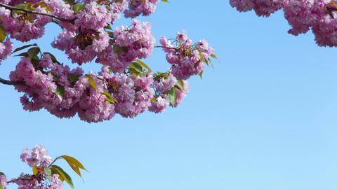 Japanese cherry blossom Footage