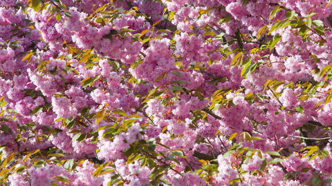 Pink cherry blossoms Footage