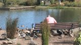 Senior Feeding Ducks stock footage