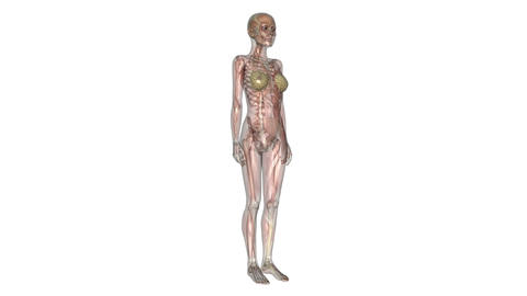 Human body Skeleton Animation