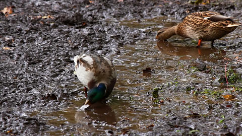 Wild ducks eat Stock Video Footage