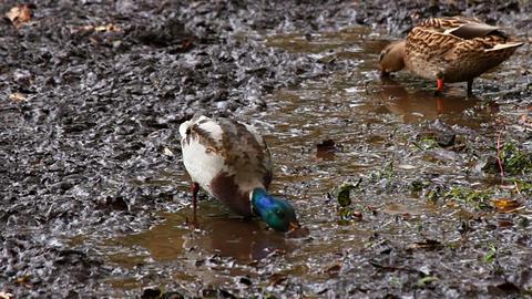 Wild ducks eat Stock Video Footage