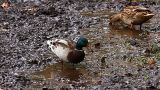Wild Ducks Eat stock footage