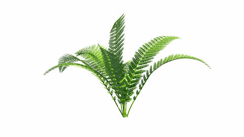 Growing fern with alpha channel Animation