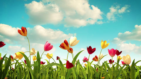 colorful tulips Stock Video Footage