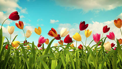 colorful tulips Animation