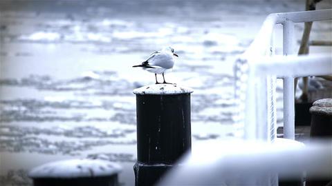 Seagull on Dock Winter 02 Footage