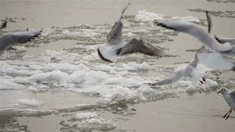 Seagulls over Icy River 04 with sound Footage