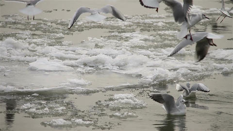 Seagulls over Icy River 04 with sound Stock Video Footage