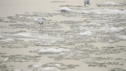 Seagulls over Icy River 06 Stock Video Footage