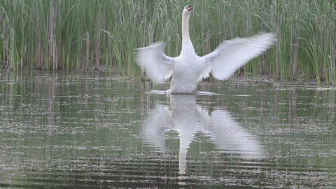 Swan on a pond Footage