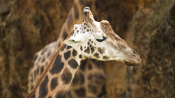 giraffe wild animal mammel nature incredible species Footage
