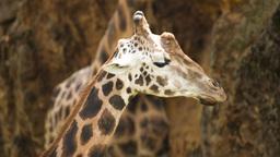 giraffe wild animal mammel nature incredible species Footage