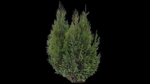 Real Coniferous Plant Isolated 2 stock footage