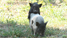 small pigs sex Footage