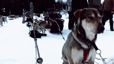 sled dog waiting for next ride patiently Footage