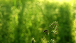 Beetle On Grass Thread Blowing In Wind With Sound.Grass Pollen Aller stock footage