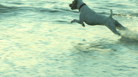 Jack Russelll terrier beach run Footage