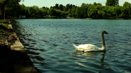 Swan In The Park Fed Bread stock footage