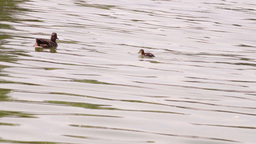 Little Colorful Ducklings Swimming and Searching for Food in the Lake, Mallard Footage