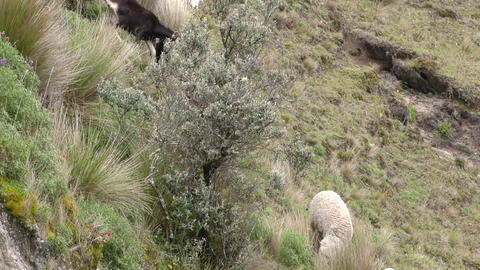 Sheep and goats grazing Footage