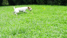 Jack Russell Terrier Slow Motion Footage
