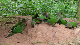 Wild parrots in Amazon jungle Footage