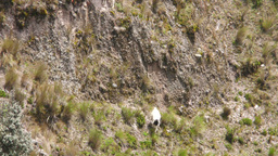 Flock of goats on steep terrain Footage
