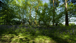 bluebells forest english countryside Footage