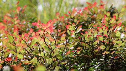 Autumn-colored blueberry leaves swaying in the wind Footage
