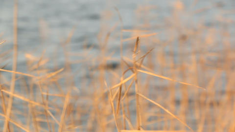 Close-up shot of dried Common reed vegetation swaying at a Finnish lakeside in a Footage
