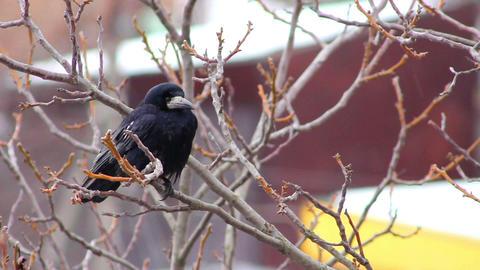Ravens on tree 28 Stock Video Footage
