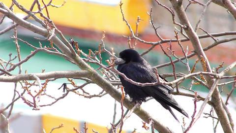 Ravens on tree 31 Stock Video Footage