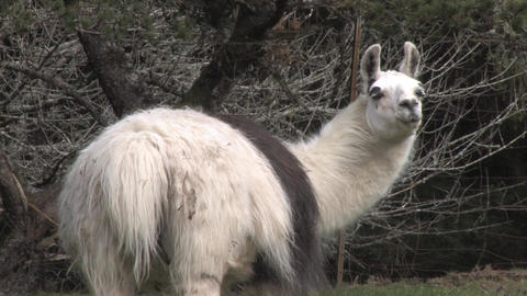 Alpaca Stock Video Footage