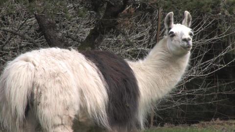 Alpaca Stock Video Footage