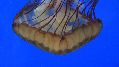 Brown Jelly Fish Stock Video Footage