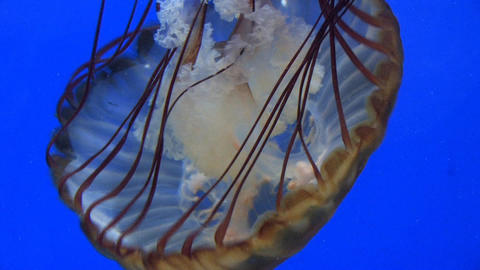 Brown Jelly Fish Footage