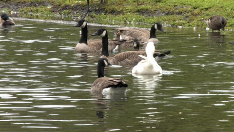Ducks Stock Video Footage