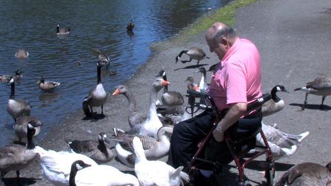 Senior Feeding Ducks Stock Video Footage