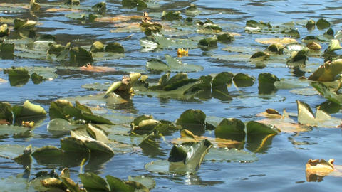 Floating Aquatic Plants Along the Lake Stock Video Footage