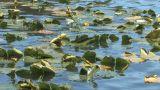 Floating Aquatic Plants Along the Lake Footage