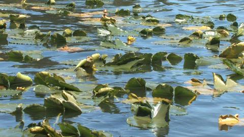 Floating Aquatic Plants Along the Lake Live Action
