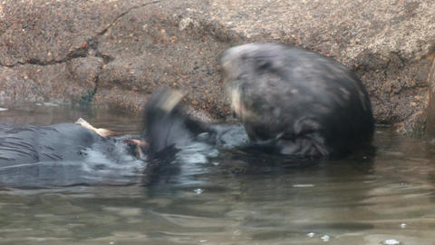 Otter Eating Stock Video Footage