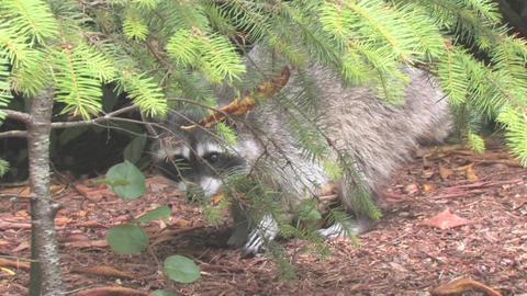Raccoon Stock Video Footage