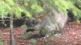 Raccoon Footage