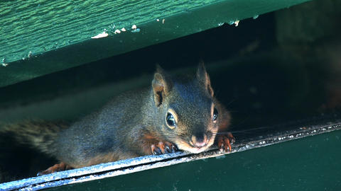 Squirrels Stock Video Footage