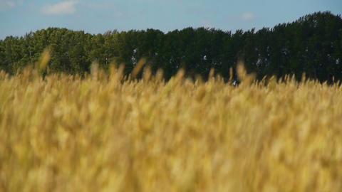 Field of rye 3 Stock Video Footage